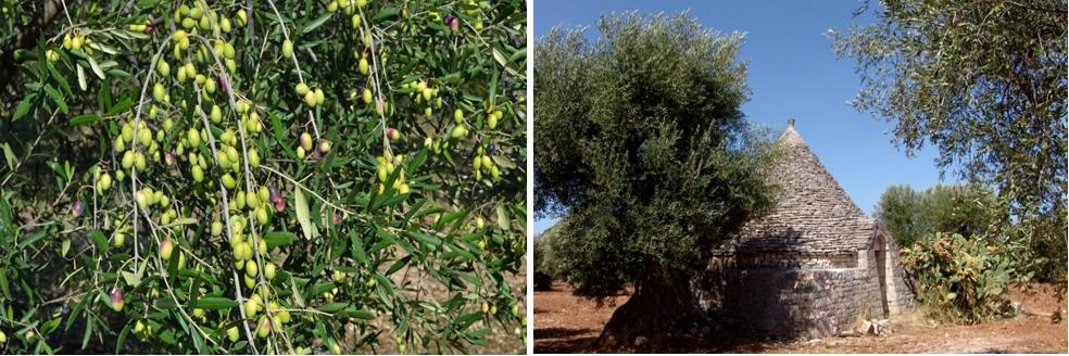 Olivenhain Apulien